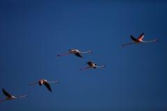Vliegend flamingo'smeer Douz, Turkije stock afbeeldingen