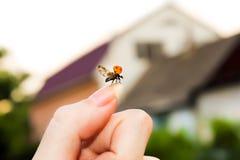 Vliegend onzelieveheersbeestje Royalty-vrije Stock Foto