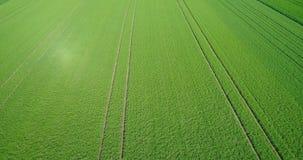 Vliegend over het groene gebied, sappig groen gebied van jonge tarwe, groen gebied stock videobeelden