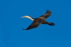 Vliegende Aalscholver Royalty-vrije Stock Foto