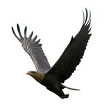 Vliegende Adelaar Royalty-vrije Stock Afbeeldingen