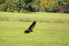 Vliegende adelaar stock afbeeldingen