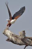 Vliegende Afrikaanse Vissen Eagle die van dode boom opstijgen Stock Foto's