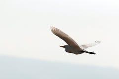 Vliegende Aigrette Royalty-vrije Stock Afbeelding