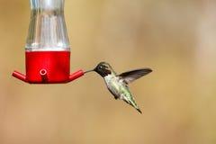 Vliegende Anna ` s kolibrie royalty-vrije stock afbeeldingen