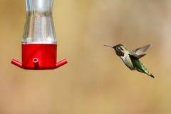 Vliegende Anna ` s kolibrie stock fotografie