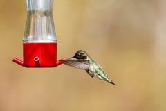 Vliegende Anna ` s kolibrie royalty-vrije stock afbeelding