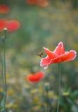Vliegende Bij en Graanpapaver Stock Afbeeldingen