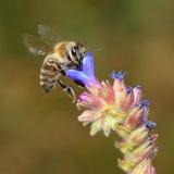 Vliegende bij onder blauwe bloemen Stock Afbeeldingen