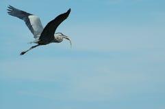 Vliegende blauwe reiger met vangst Stock Afbeeldingen