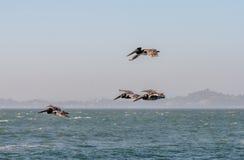 Vliegende Bruine Pelikanen in San Francisco Bay royalty-vrije stock foto