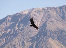 Vliegende condor over Colca-canion, Peru De condor is de grootste vliegende vogel ter wereld stock afbeelding