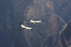 Vliegende condor over Colca-canion in Peru, Zuid-Amerika. Stock Afbeeldingen