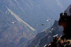 Vliegende condor over Colca-canion in Peru, Zuid-Amerika. Stock Foto