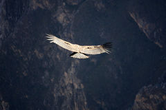 Vliegende condor over Colca-canion in Peru, Zuid-Amerika. Stock Foto's