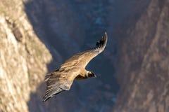 Vliegende condor over Colca-canion, Peru, Zuid-Amerika. Deze condor de grootste vliegende vogel royalty-vrije stock foto's