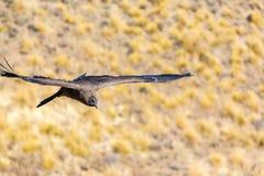 Vliegende condor over Colca-canion, Peru, Zuid-Amerika. Deze condor de grootste vliegende vogel stock afbeelding