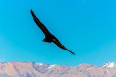 Vliegende condor over Colca-canion, Peru, Zuid-Amerika. Deze condor de grootste vliegende vogel stock afbeeldingen