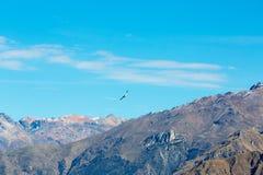 Vliegende condor over Colca-canion, Peru, Zuid-Amerika. Deze condor de grootste vliegende vogel stock foto