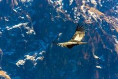Vliegende condor over Colca-canion, Peru, Zuid-Amerika. Deze condor de grootste vliegende vogel royalty-vrije stock afbeelding