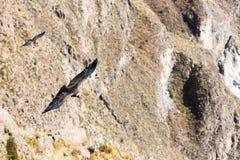Vliegende condor over Colca-canion, Peru, Zuid-Amerika. Deze condor de grootste vliegende vogel royalty-vrije stock foto