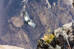 Vliegende condor over Colca-canion, Peru, Zuid-Amerika. Deze condor de grootste vliegende vogel stock fotografie