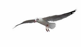 Vliegende die zeemeeuwvogel op wit wordt geïsoleerd stock fotografie