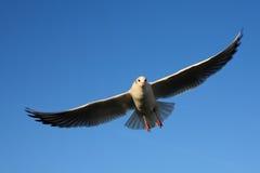 Vliegende doelzeemeeuw Royalty-vrije Stock Foto's