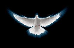 Vliegende duif Stock Foto