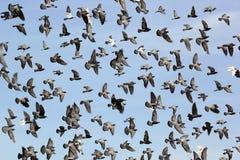 Vliegende duif royalty-vrije stock afbeeldingen