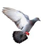 Vliegende duif royalty-vrije stock foto's