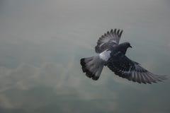 Vliegende duif boven het water Royalty-vrije Stock Fotografie