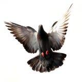 Vliegende duif die op wit wordt geïsoleerd stock foto's