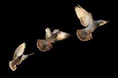 Vliegende duifvogel royalty-vrije stock afbeeldingen