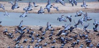 Vliegende duiven Stock Foto's