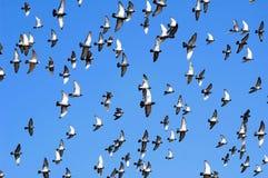 Vliegende duiven Stock Foto