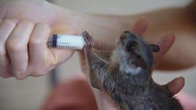 Vliegende eekhoorn stock videobeelden