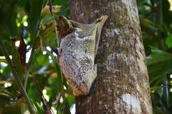 Vliegende eekhoorn Stock Afbeelding