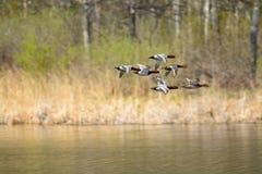 Vliegende eend royalty-vrije stock fotografie