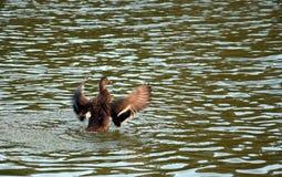 Vliegende eend op meer Stock Fotografie
