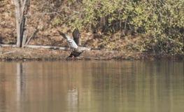 Vliegende eenden Royalty-vrije Stock Afbeeldingen