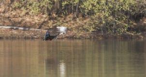 Vliegende eenden Stock Foto