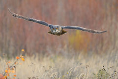 Vliegende Europees-Aziatische adelaar-Uil royalty-vrije stock foto's