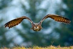 Vliegende Europees-Aziatische Eagle-uil met open vleugels met sneeuwvlok in sneeuwbos tijdens de koude winter De scène van het ac stock foto