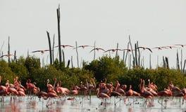 Vliegende Flamingo's. Royalty-vrije Stock Afbeelding