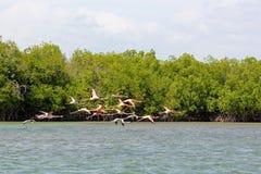 Vliegende flamingo's in Dominicaanse Republiek stock foto's