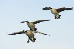 Vliegende Ganzen royalty-vrije stock foto's