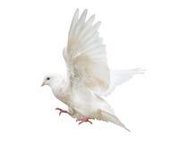 Vliegende geïsoleerde lichte duif Stock Afbeeldingen