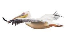 Vliegende geïsoleerdeT pelikaan Royalty-vrije Stock Afbeelding