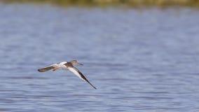 Vliegende Gemeenschappelijke Tureluur op Meer Royalty-vrije Stock Foto